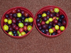 Wild plums - red and yellow