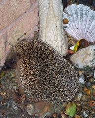 Hedgehog ..