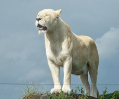 White lion - lone female