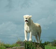 White lion - female queen