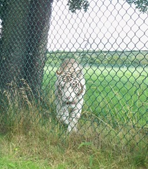 White tiger - front facing