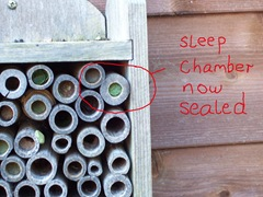 Leaf-cutter bee - sleep chamber now finally sealed