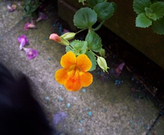 Orange Sorbet Monkey Musk - Monkey Flower - Mimulus