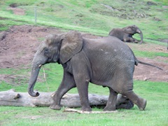 Elephant playing with a stick at West Midland Safari Park