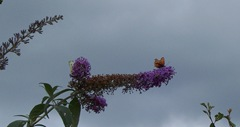 Butterflies on the Butterfly Bush