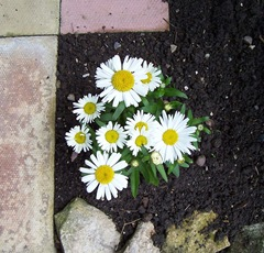 Garden Ox-Eye Daisy