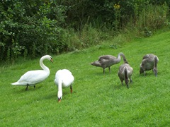 Swans - the cob facing the camera, the pen facing her cygnets