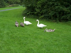 Swans - three cygnets with the cob and pen - their father and mother