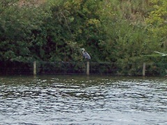 Grey Heron ... stalking