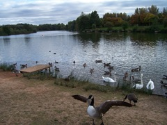 Arrow Valley - Canada Goose in foreground - Late September - evening