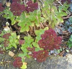 Sedum Ice Plant - mid October