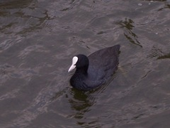 Coot -facing forward
