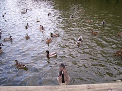 Mallard ducks and drakes with Canada goose