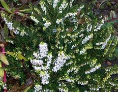 White heather - lucky heather