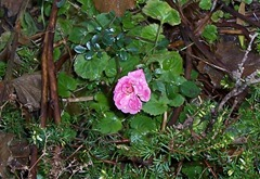 Miniature rose - 2.12.09 after a frosty night