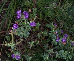 Hebe - Purple Pixie