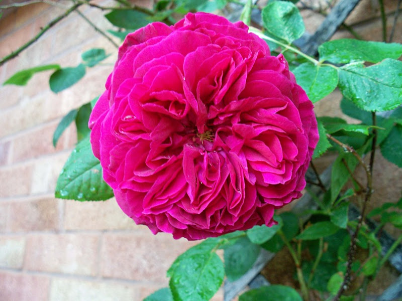 Red rose - smells of Turkish delight