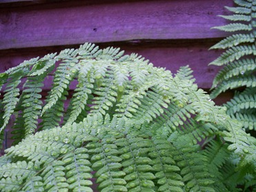 Lady Fern - after rain shower in the early evening