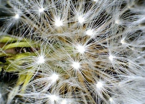 Dandelion seed head close up