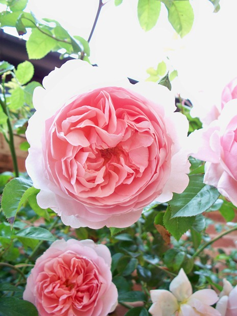 Rambling rose - pink and sweet