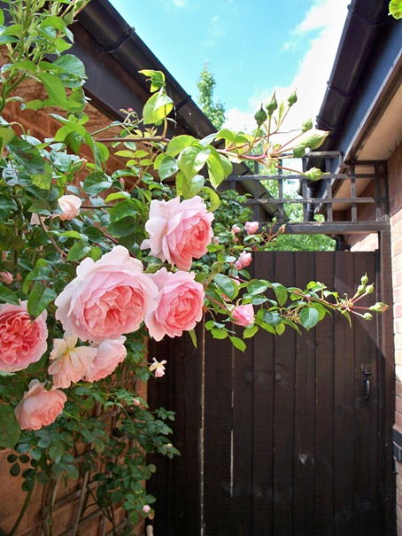 Rambling rose, rambling rose where she rambles no-one knows
