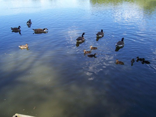 Mallard ducklings swimming with Canada geese