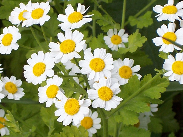 Feverfew - close-up