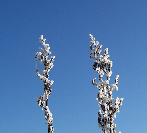 New Zealand Flax - dead flowers covered in hoarfrost