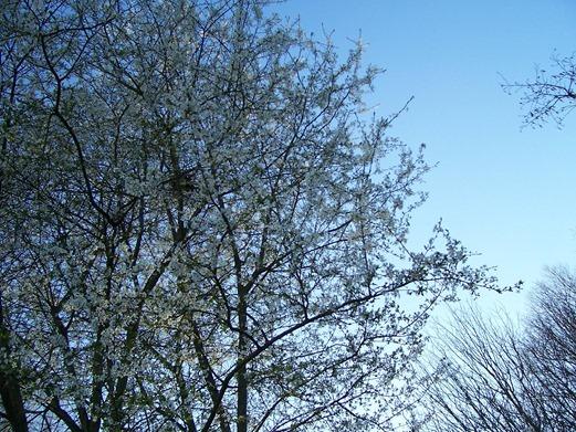 Blackthorn white petal blossoms - sloe