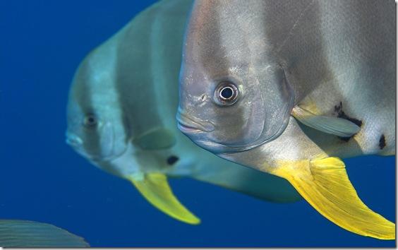 Longfin batfish (Platax teira), Maldives