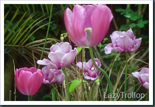Purple tulips 007