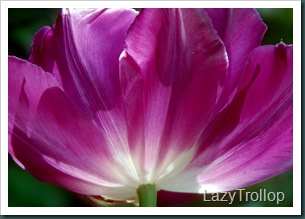 Purple tulips 003