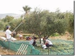 OliveHarvest