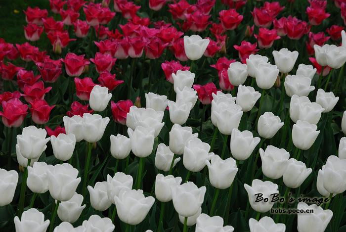 荷兰郁金香 - 清韵 - 清韵的博客