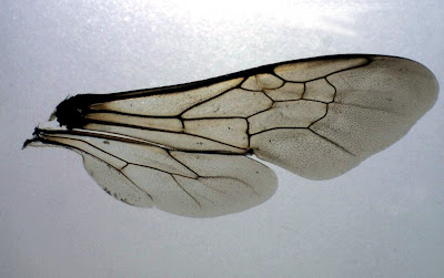 Galerry bumble bee wings
