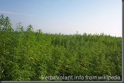Field of Hemp