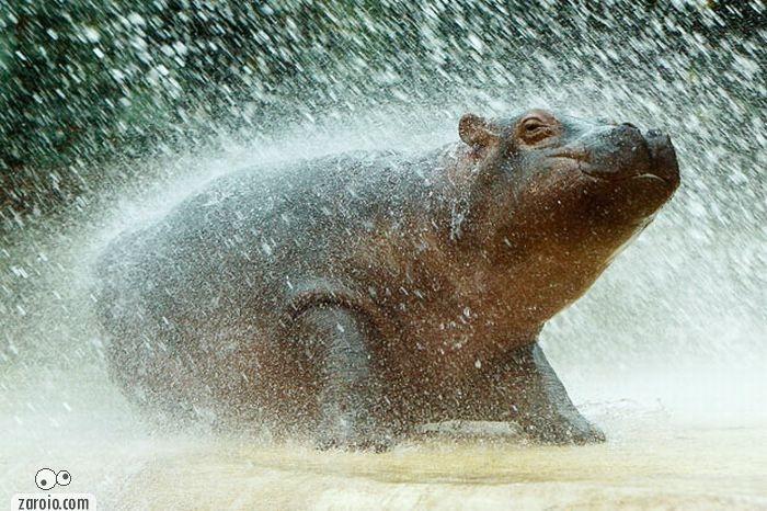 hipopotamos-chuva