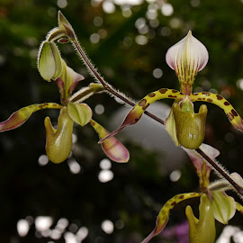 Paphiopedilum - Lady's slipper  by Mahbub Sohag - Nature Up Close Gardens & Produce