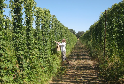 Picking Fresh Cascade Hops at Star B Ranch