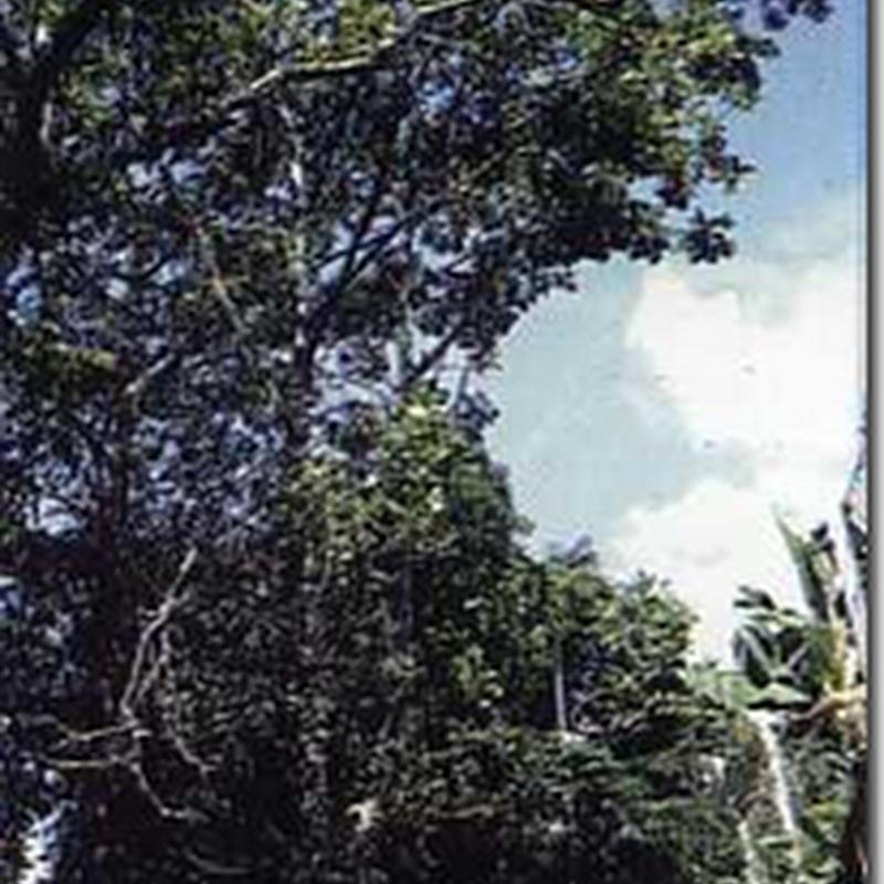 Dadap Ayam (Erythirna variegata L. Var..Orientalis(L.) Merr)