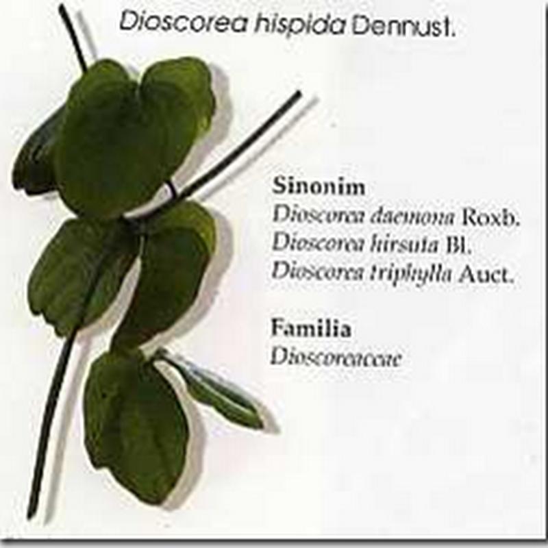 Gadung (Dioscorea hispida Dennust)