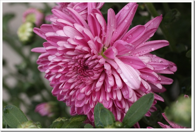 pale pink mum 9-4