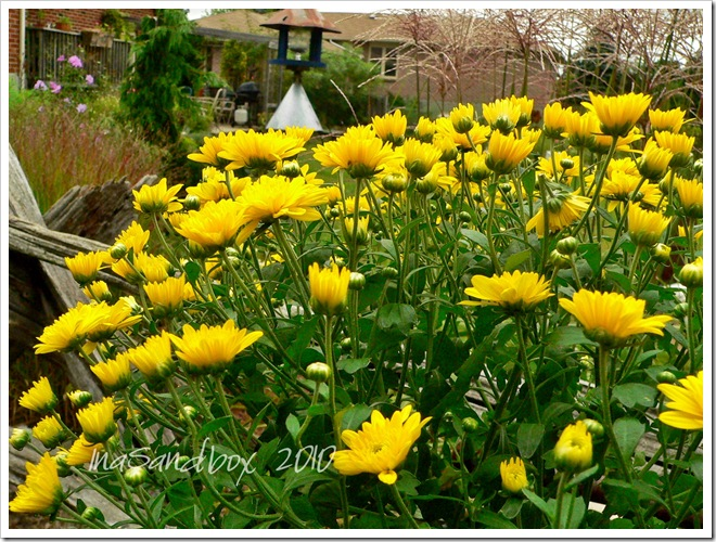 yellow mums 9-9 with logo