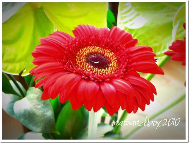 Gerbera Daisy 9-17