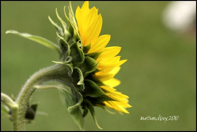 Jen's sunflower sideways with logo