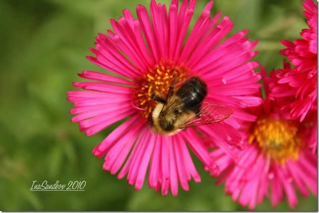 red aster with bee and logo