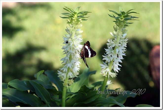 Eucomis Autumnalis with logo