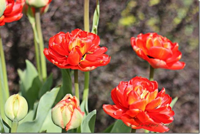 Irridescent-red-tulips-LR