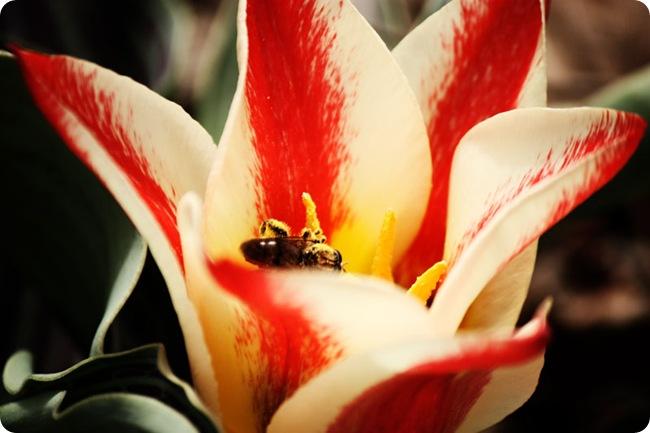 dwarf-tulipLR