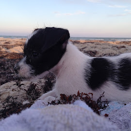Chiweenie at the Beach by Eleya Maureen - Animals - Dogs Puppies